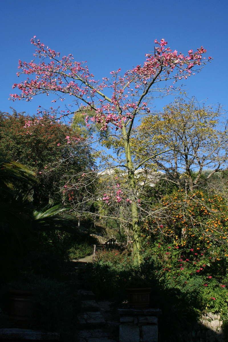 Ceiba speciosa (= Chorisia speciosa) Choris11