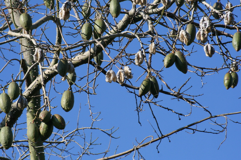 Ceiba speciosa (= Chorisia speciosa) Choris12