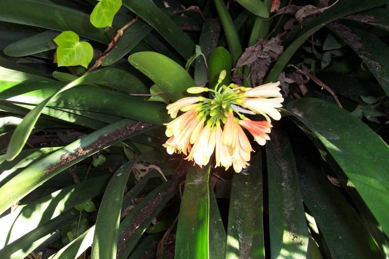 Clivia miniata Clivia11
