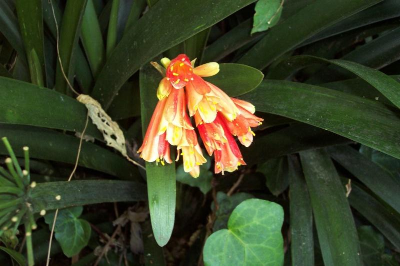 Clivia miniata Clivia12