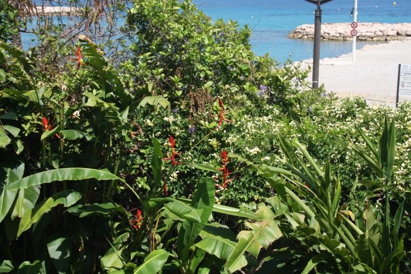 Quelques tropicales en fleurs, en ce moment Helico11