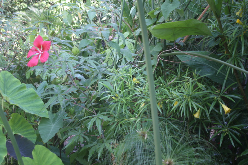Cascabela thevetia (= Thevetia peruviana) Hibisc10