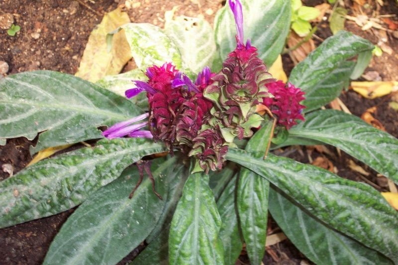 Une Acanthaceae  avec  nom : Justicia scheidweileri Porphy10