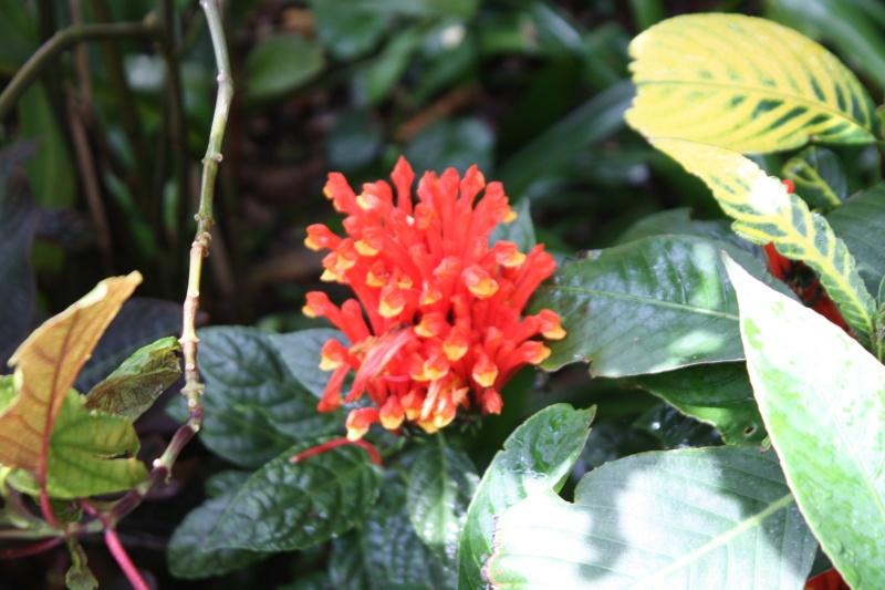 Quelques tropicales en fleurs, en ce moment Scutel10