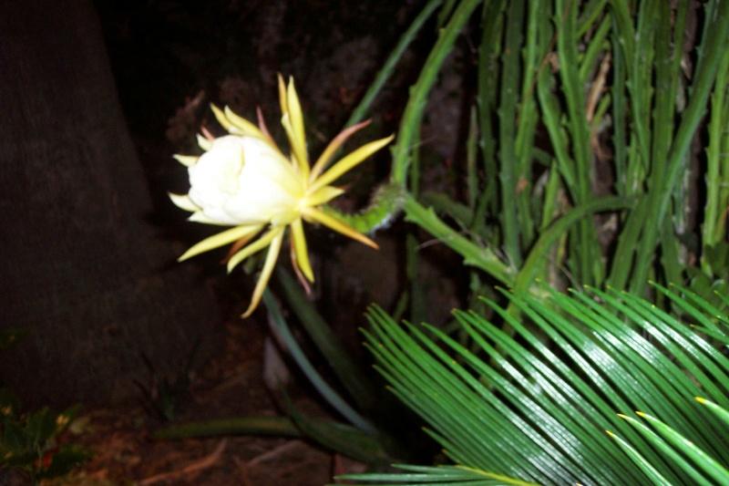 Selenicereus grandiflorus  Seleni10