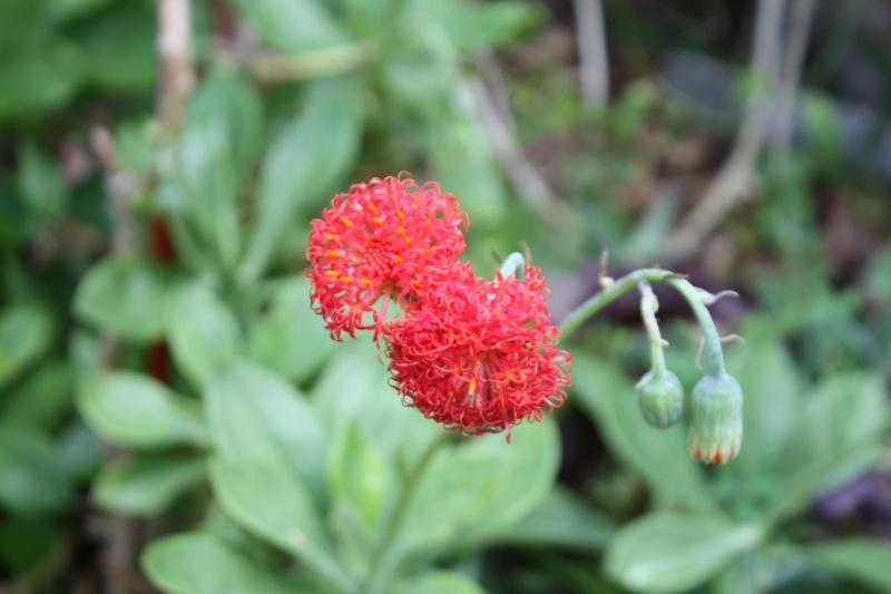 Quelques tropicales en fleurs, en ce moment Seneci10
