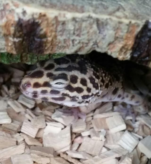 Inquiète pour mon petit Gecko 2016-012