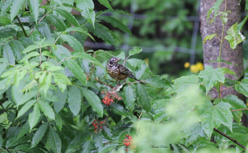 le mauvais temps a ramené les oiseaux  Img_2822