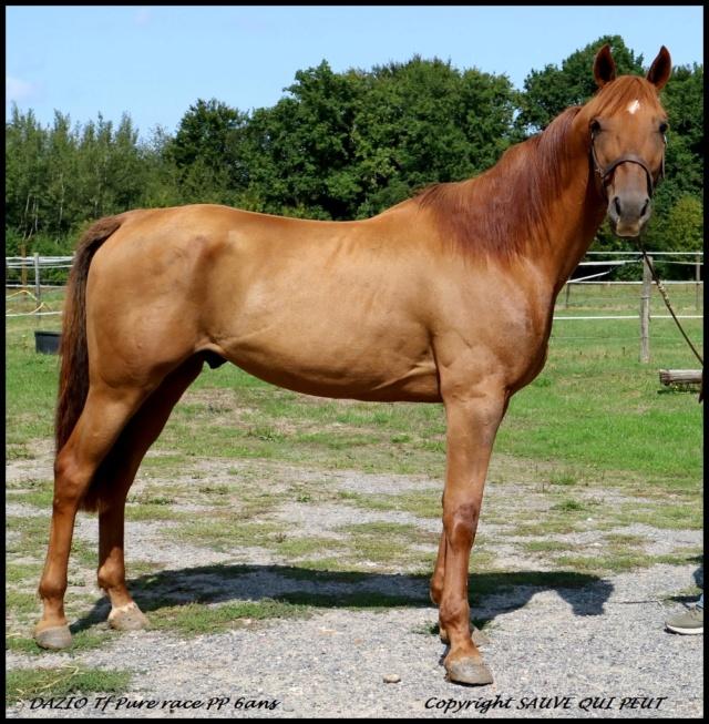 DAZIO Tf Pure race PP 6ans Un cheval en Or ...pur ! Dazio_11