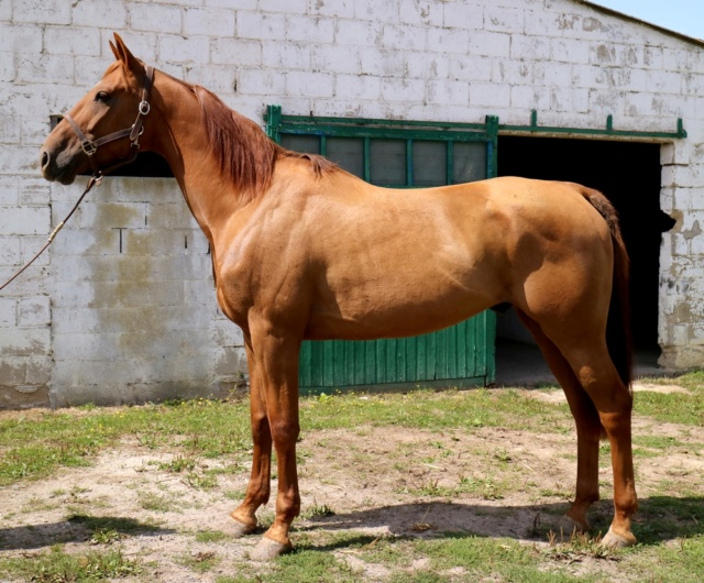 DAZIO Tf Pure race PP 6ans Un cheval en Or ...pur ! Dazio_12
