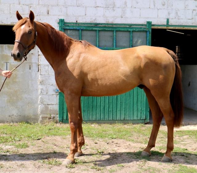 DAZIO Tf Pure race PP 6ans Un cheval en Or ...pur ! Dazio_17