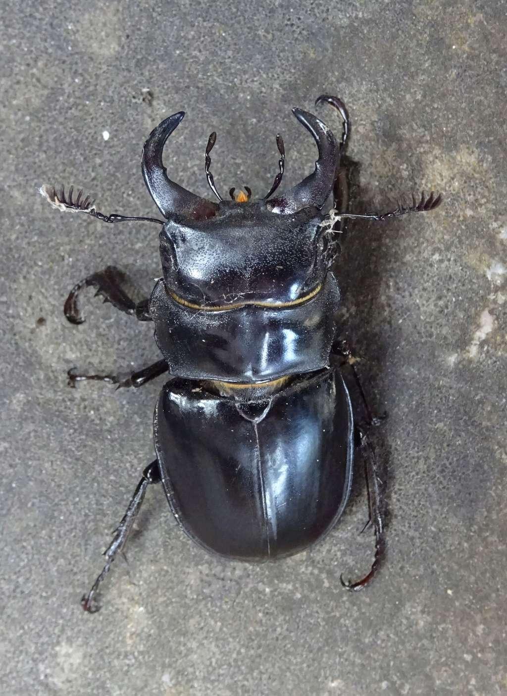 Lucanus (Pseudolucanus) barbarossa Dsc01410
