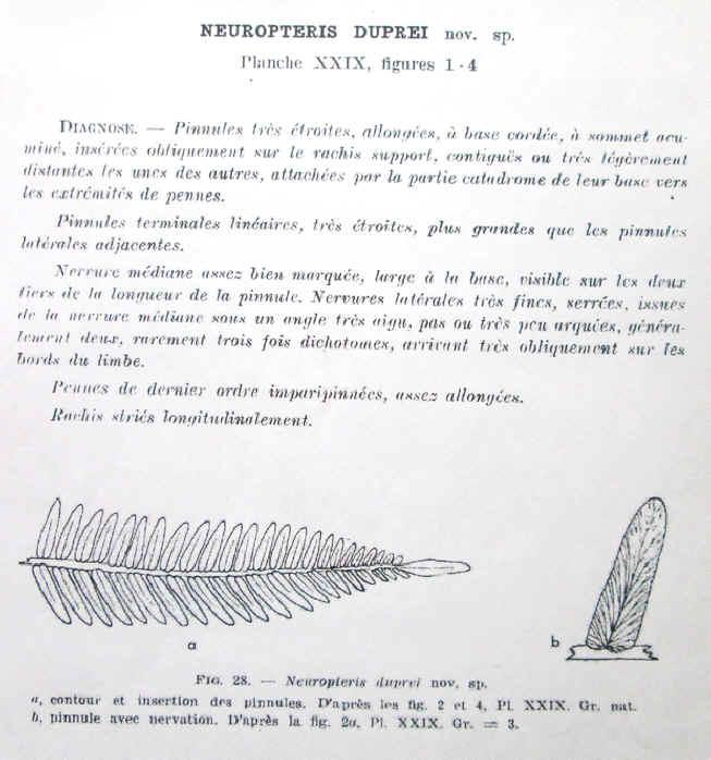 Neuropteris (Brongniart ) Sternberg , 1825. Duprei10