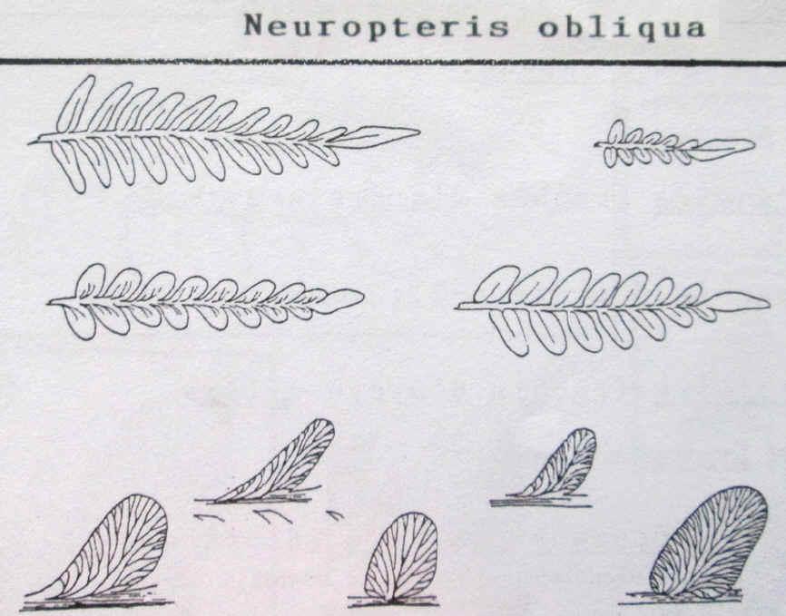 Neuropteris (Brongniart ) Sternberg , 1825. Img_0414