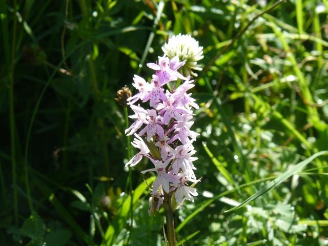 Orchidées suisses! 08_07_13