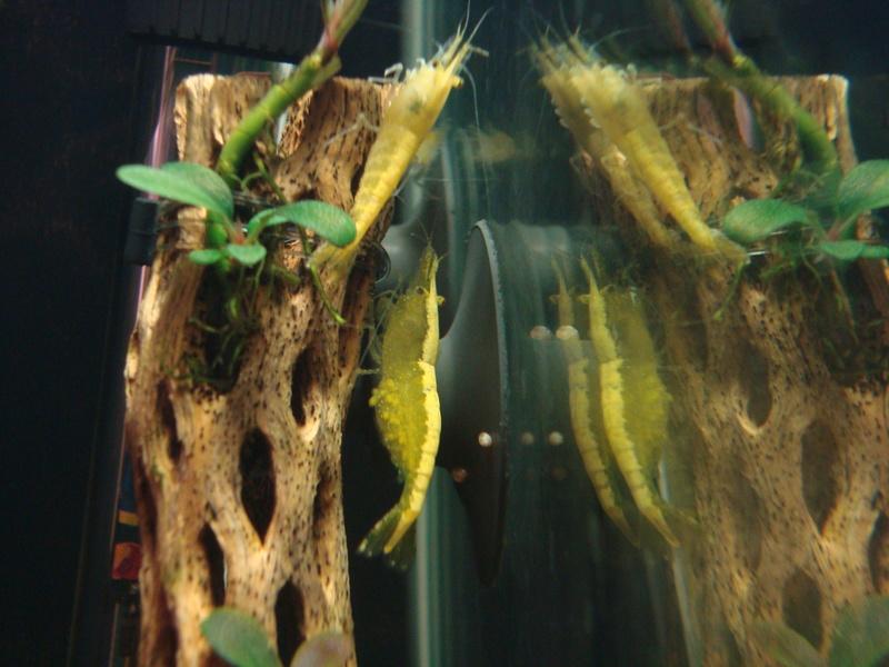 Mes ptites crevettes Dsc02210