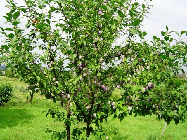 Les pruniers de mon jardin Dsc09610
