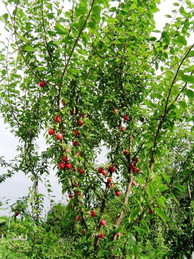 Les pruniers de mon jardin Dsc09612