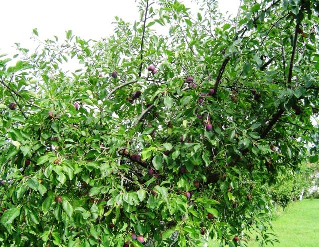 Les pruniers de mon jardin Dsc09613