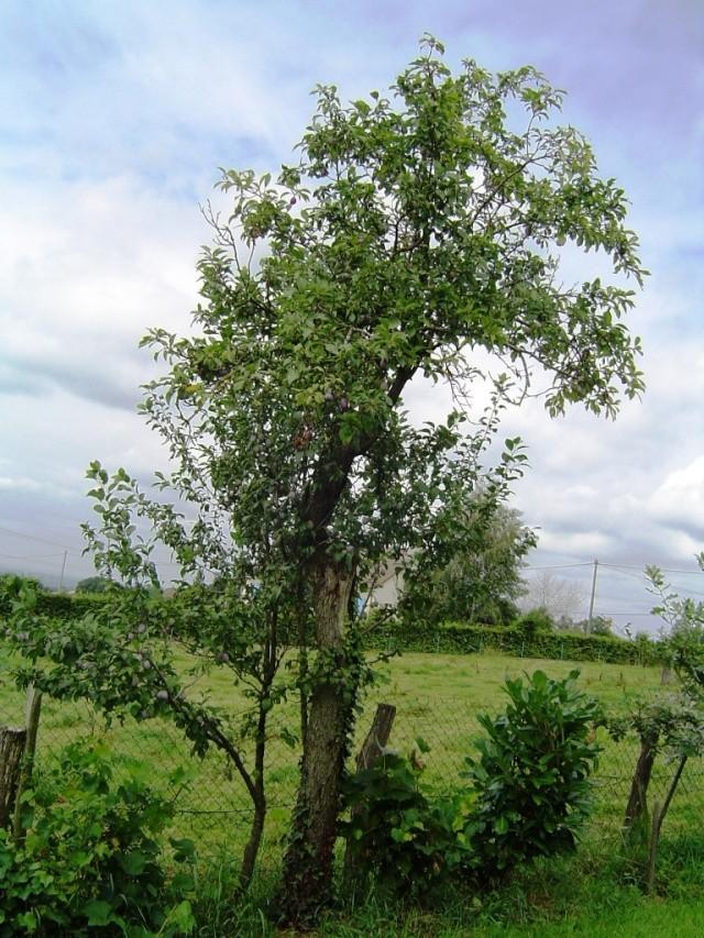 Les pruniers de mon jardin Dsc09615