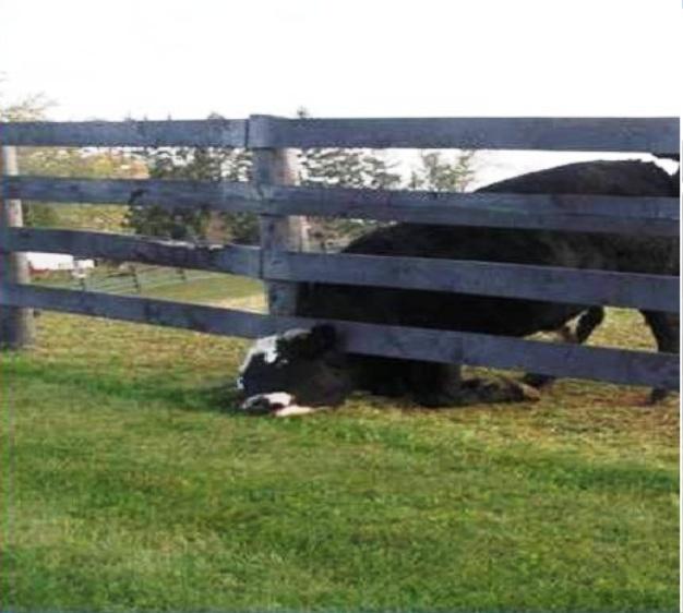 Entre-aide vache Vache_10
