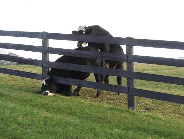 Entre-aide vache Vache_11