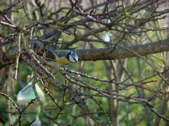 oiseaux de mon jardin 2011 Dsc05317