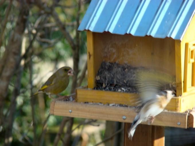 oiseaux de mon jardin 2011 Dsc05318