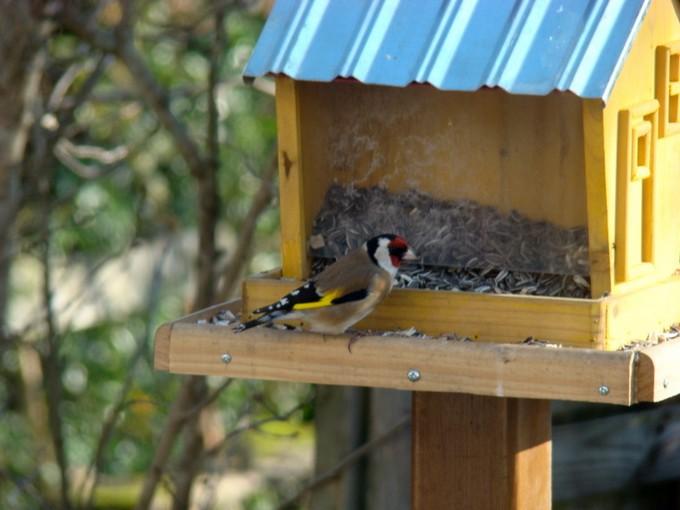 oiseaux de mon jardin 2011 Dsc05319