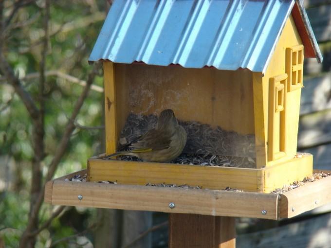 oiseaux de mon jardin 2011 Dsc05411