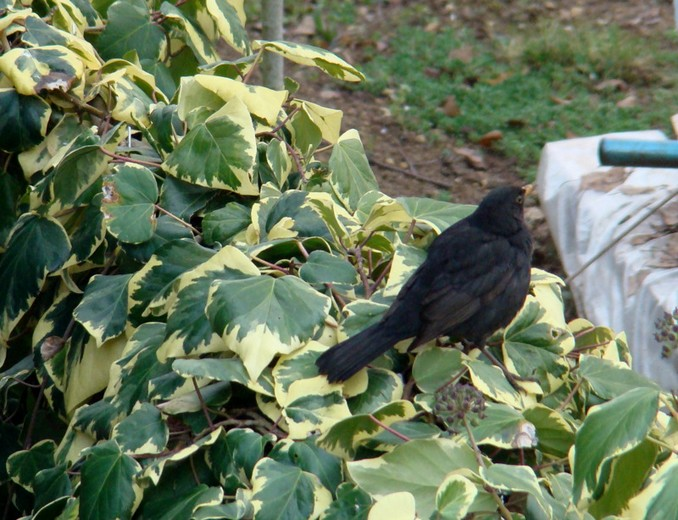 oiseaux de mon jardin 2011 Dsc05418