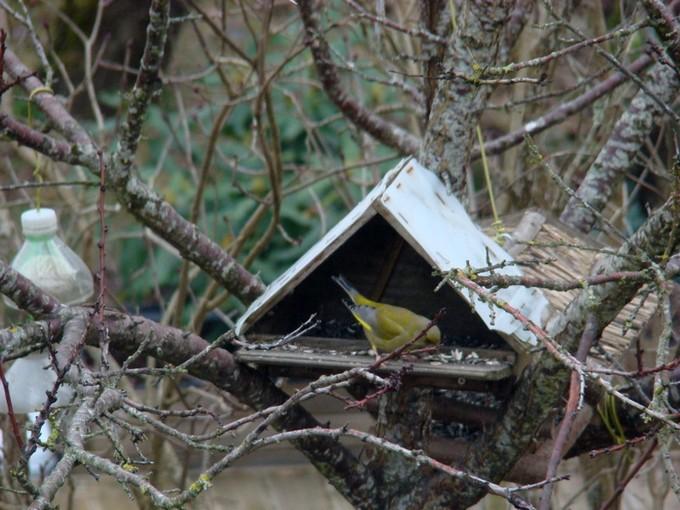 oiseaux de mon jardin 2011 Dsc05420