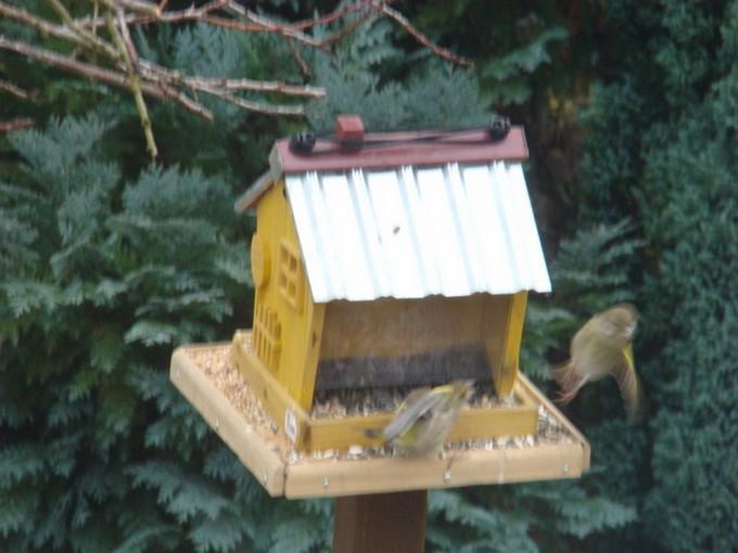 oiseaux de mon jardin 2011 Dsc05421