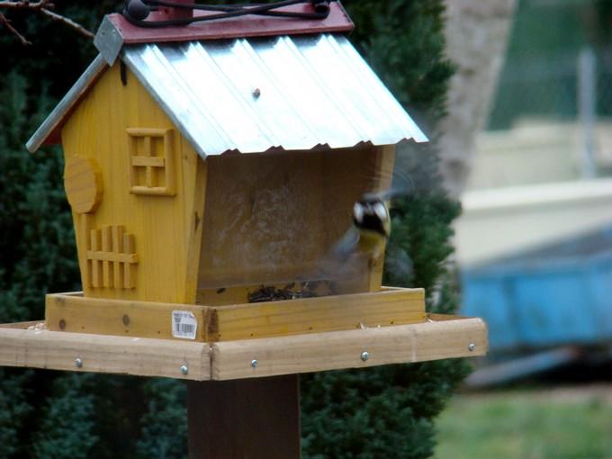 oiseaux de mon jardin 2011 Dsc05517