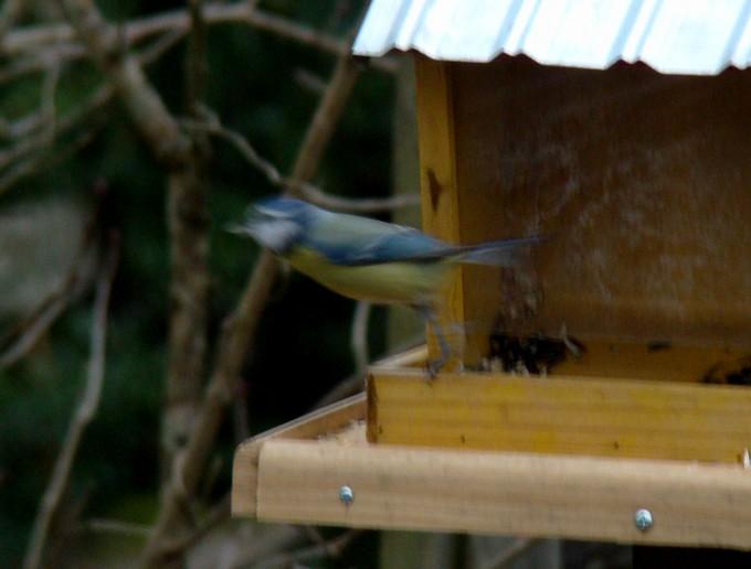 oiseaux de mon jardin 2011 Dsc05518