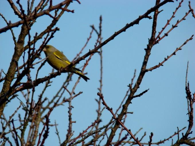 oiseaux de mon jardin 2011 Dsc05617