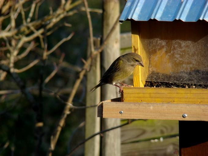 oiseaux de mon jardin 2011 Dsc05620