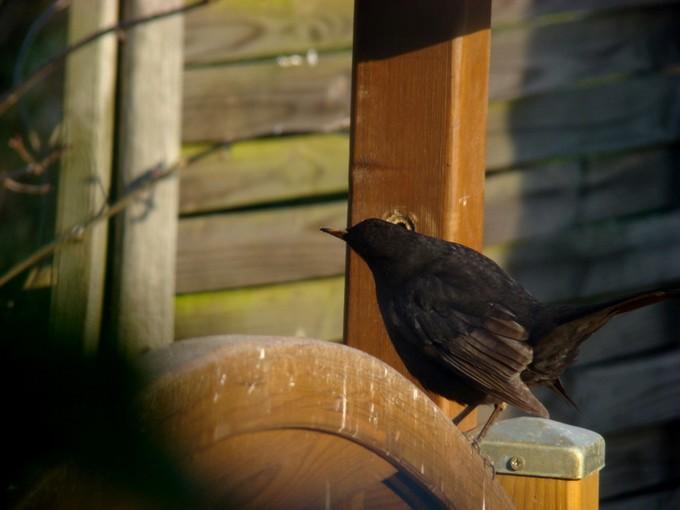 oiseaux de mon jardin 2011 Dsc05622