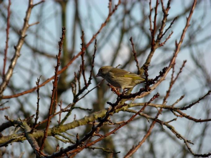 oiseaux de mon jardin 2011 Dsc05623