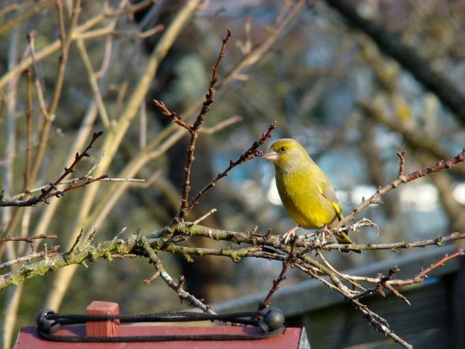 oiseaux de mon jardin 2011 Dsc05626