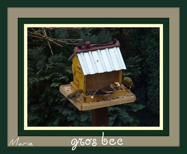 oiseaux de mon jardin 2011 Gros_b10