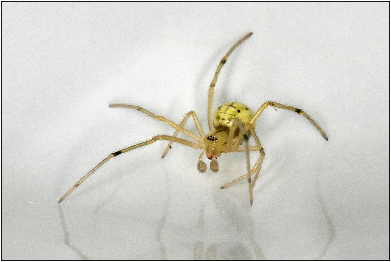 Theridiidae : Enoplognatha Enoplo10