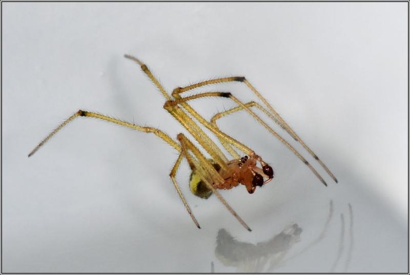 Theridiidae : Enoplognatha Enoplo11