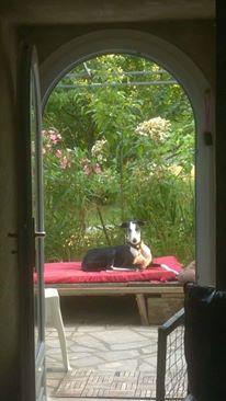 Careta grande galga noire et blanche, bientôt 6 ans.Scooby France  Adoptée  - Page 3 13595910