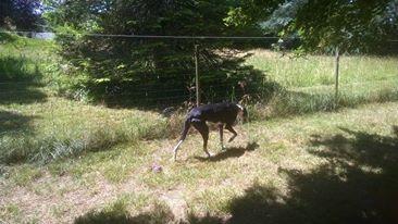 Careta grande galga noire et blanche, bientôt 6 ans.Scooby France  Adoptée  - Page 3 13608110