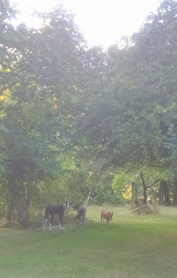 Careta grande galga noire et blanche, bientôt 6 ans.Scooby France  Adoptée  - Page 4 13884510