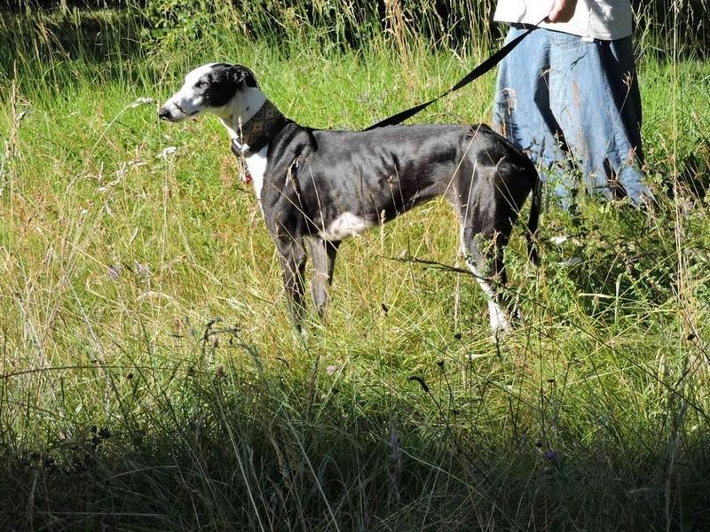 Careta grande galga noire et blanche, bientôt 6 ans.Scooby France  Adoptée  - Page 4 Aa10
