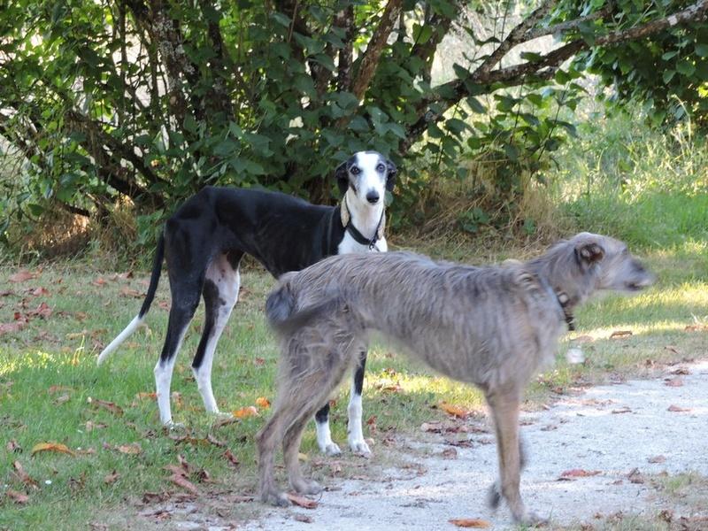 Careta grande galga noire et blanche, bientôt 6 ans.Scooby France  Adoptée  - Page 4 Dscn4510