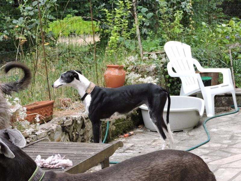 Careta grande galga noire et blanche, bientôt 6 ans.Scooby France  Adoptée  - Page 4 Dscn4613