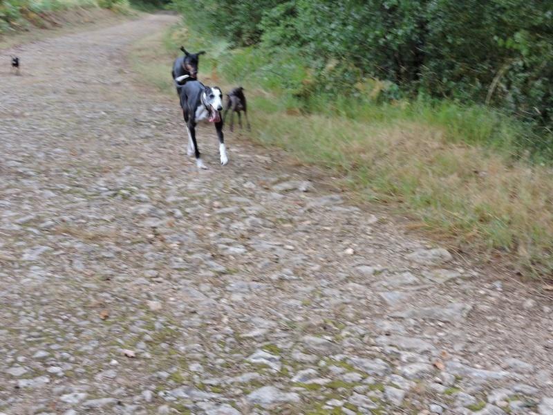 Careta grande galga noire et blanche, bientôt 6 ans.Scooby France  Adoptée  - Page 5 Dscn4810